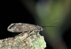 Caddis Fly Adult